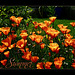 ~summer poppys~