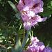 rododendra figuro