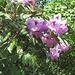rododendro ĉe latbarilo