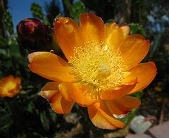 Cactus Flower (2467)