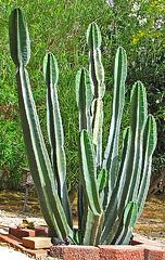 Cereus Cactus (0007)