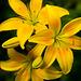 Gelbes Dreigespann