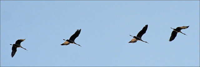 Cranes Overhead
