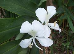 La Mariposa, fleur emblème de Cuba