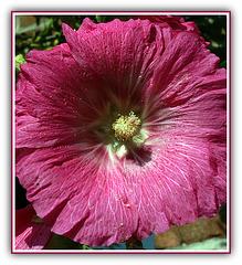 Rose trémière - 1084b