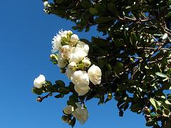 Flor Arrayán