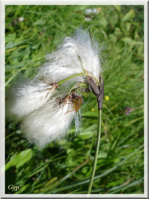 Eriophorum sp