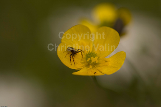 spider on buttercup