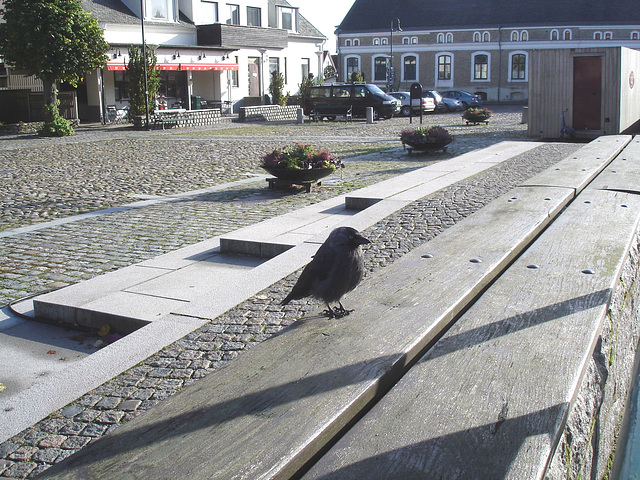Oiseau suédois sympatique - Friendly swedish bird -  Båstad.  Suède / Sweden.   Octobre 2008