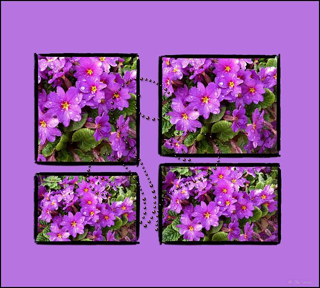 Purple (pip)