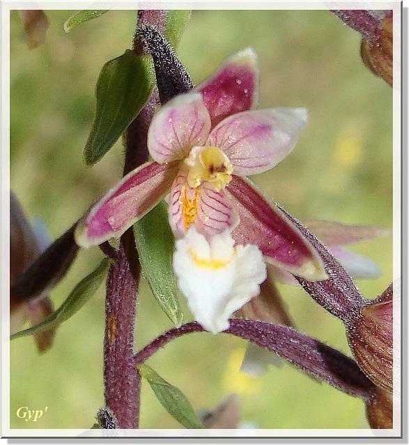 Epipactis palustris 2