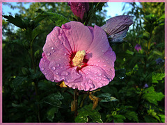 Hibiscus sous la rosée matinale [ON EXPLORE]