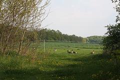 Graugänse auf der Klosterwiese