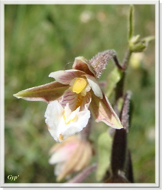 Epipactis palustris 5