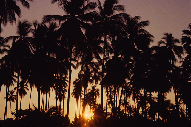 Sunset between the palm wood