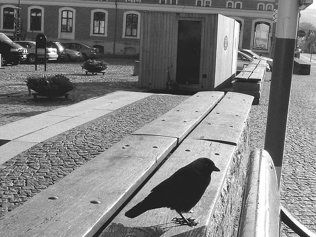 Oiseau suédois sympatique - Friendly swedish bird -  Båstad.  Suède / Sweden.   Octobre 2008 - Ombre sur pattes en noir et blanc /  Flying shadow in  B & W