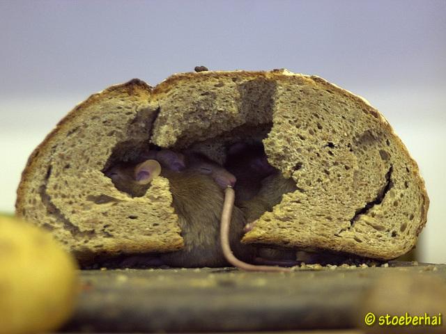 Mäuse im Brot