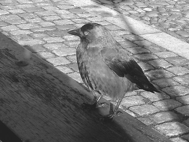 Oiseau suédois sympatique - Friendly swedish bird -  Båstad.  Suède / Sweden.   Octobre 2008-  N & B