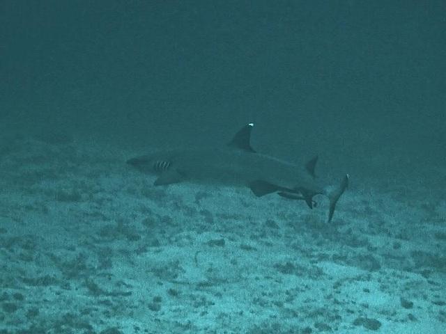 Whitetip Shark by Similan