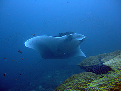 A Manta baby with its 3 Meters wingspread