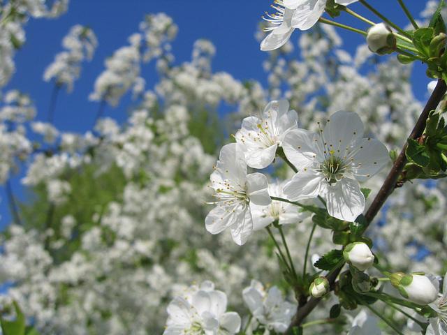 kirschblüte -april