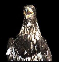 Junger Amerikanischer Weißkopfseeadler / Young Bald eagle