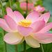 Une fleur de Lotus sacré