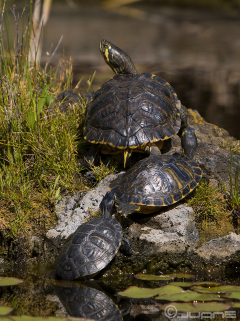 Tortugas de Florida (Trachemys scripta elegans)