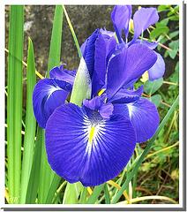 Iris xyphioides