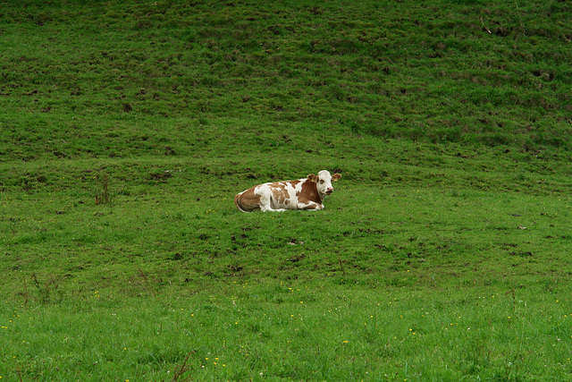 Solitary Cow