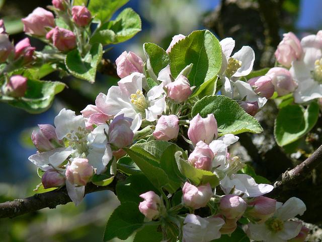 erste Apfelblüten 2009