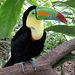 Toucan, Costa-Rica