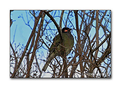 Male Figbird.