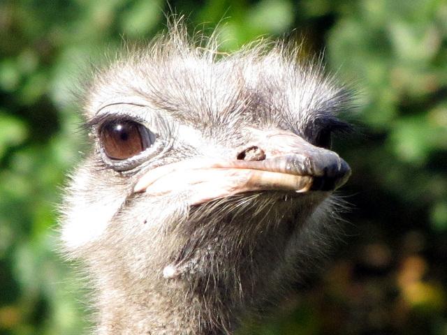 Emu (oder Nandu?)