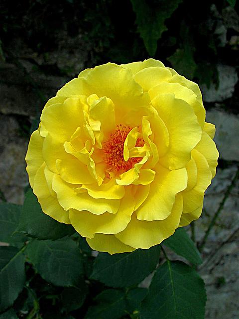 Rose im Garten vom Schloss Mirabell