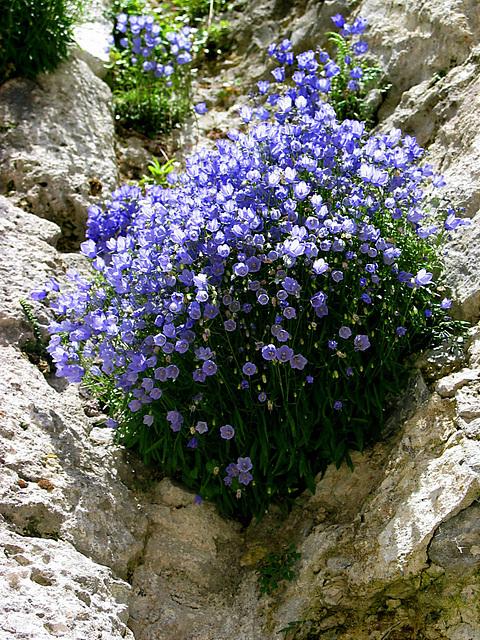 Mauerblümchen an der Festung Hohensalzburg