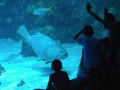 Grouper considering eating tourists