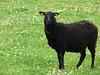 Ich will kein schwarzes Schaf sein