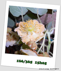 15/06   fleur de kiwi