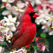 Cardinal, en Colombie