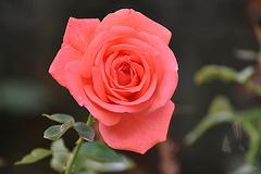 DERNIERE ROSE