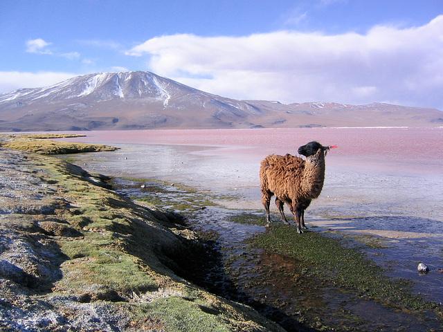 Lama sur la lagune en Bolivie