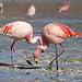 Flamants roses, Laguna Colorada, Bolivie