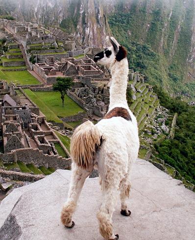 Lama contemplant le Machu Picchu