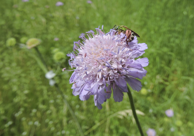 Blue Button (Knautia arvensis)