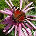 Pfauenauge auf Echinacea
