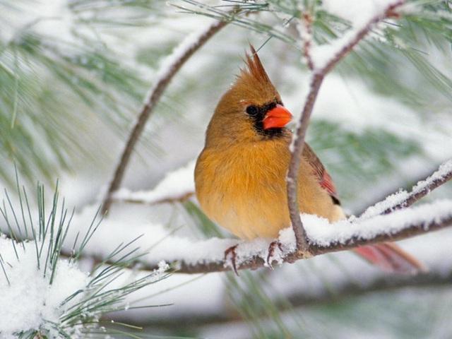 Cardinal (femelle)