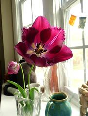 homegrown tulips