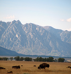 Bison and Tetons (1585)