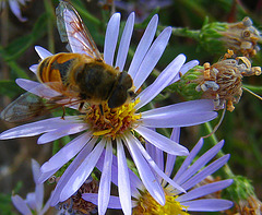 Bee on Flower (3743A)